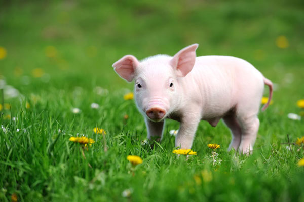 France: Pig's name is a big deal